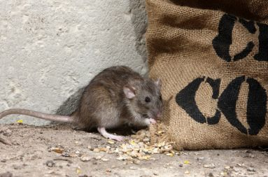 Un problème de rats ou souris? Dératisation, Désinsectisation, Désinfection . Agro Sanit intervient rapidement dans le Loiret(45), en Essonne(91), en Yvelines(78)