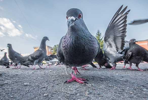 Un problème de pigeons ? Dératisation, Désinsectisation, Désinfection . Agro Sanit intervient rapidement dans le Loiret(45), en Essonne(91), en Yvelines(78)